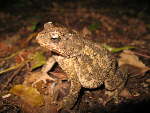 Philippine frogs at risk due to climate change